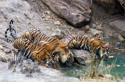 Two orphaned tiger cubs die within six hours in Bandhavgarh, third in serious condition