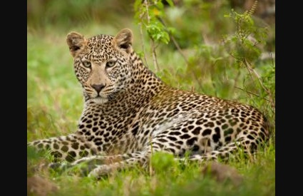 Bhopal  Madhya Pradesh  Leopard  Forest  Crimes  India